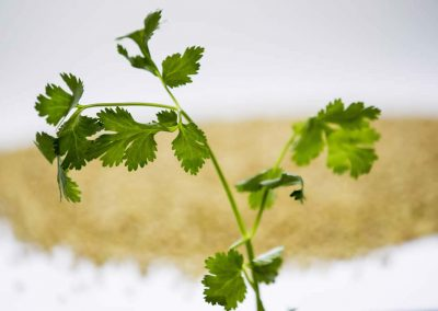 Coriander herb oil