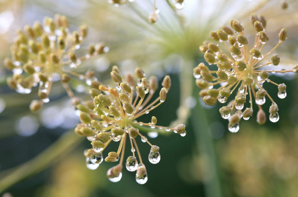 Genesis SK Ltd is a global supplier of Dill hydrolate