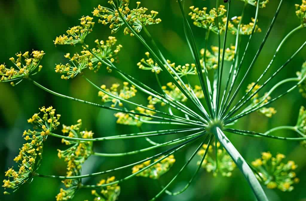 Genesis SK Ltd is a global supplier of Dill seed oil
