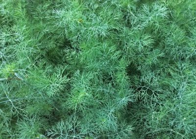 Dill weed oil
