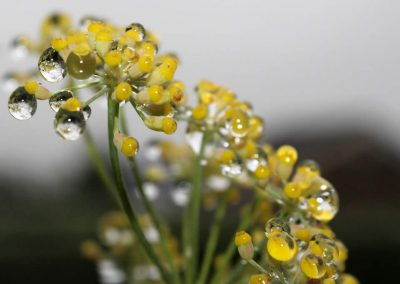 Fennel hydrolate