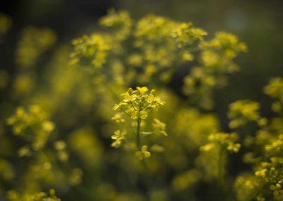Mustard seed essential oil