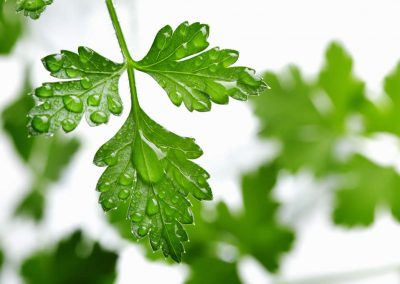 Parsley hydrolate